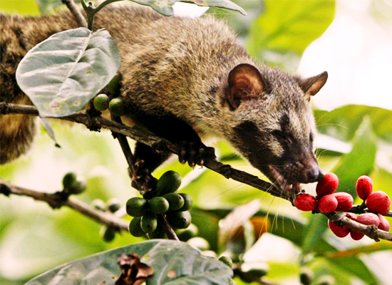 A Luwak (Asian Palm Civet) feeding on coffee berries
